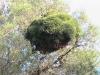oujda-arbre-chenilles-sidi-maafa