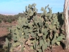 oujda-paysage-cactus-handiya