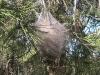 oujda-sidi-maafa-arbre-chenille
